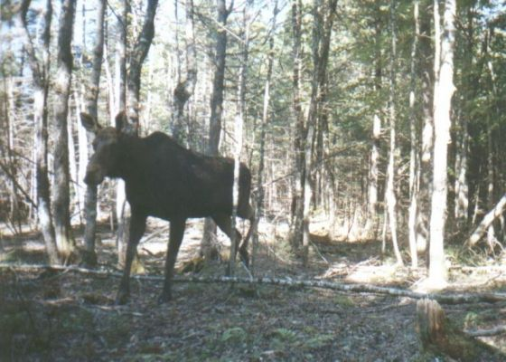 Cow Moose taken with a