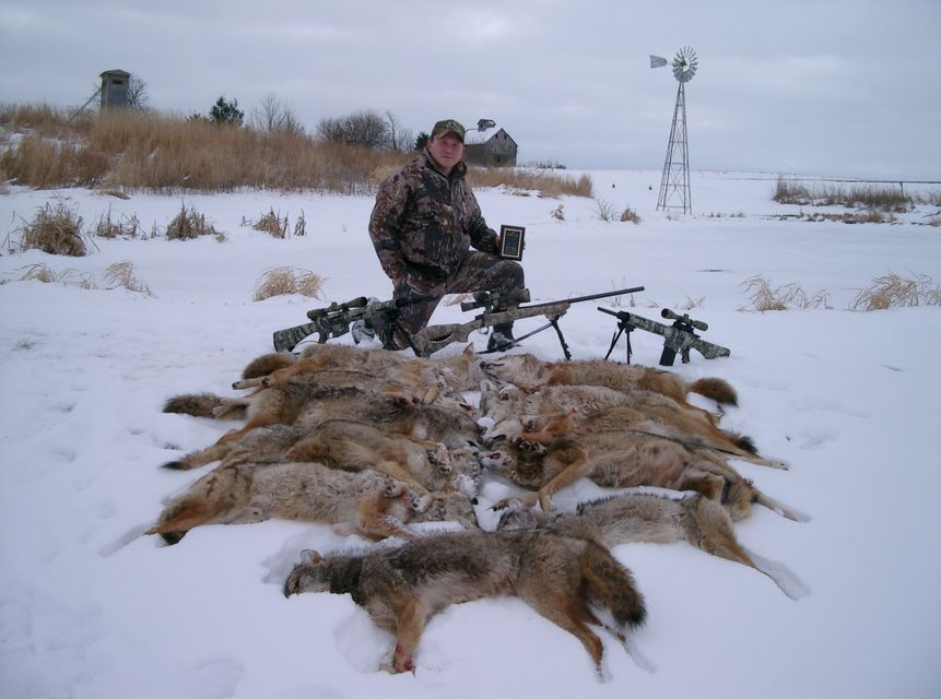 Click to view full size image  ==============  11 coyotes in 24 hours Entered local coyote hunting contest.  Using a remington r25 .243, browning gold shotgun with 3