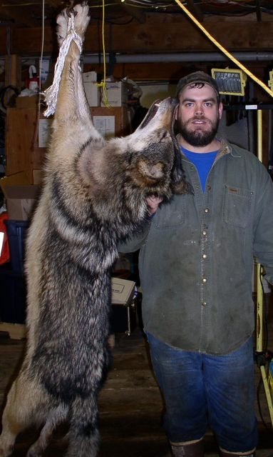 Click to view full size image  ==============  My fist Wolf in Alaska 93lb Male wolf taken on Etolin Island