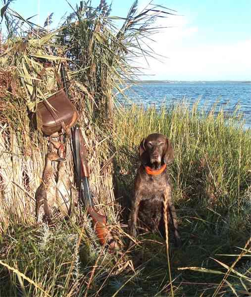 My old Shorthair, and two Pintails The duck premiere in Mariager fjord! Keywords: Duckhunting