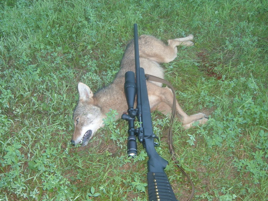 Click to view full size image  ==============  1st yote this is my first coyote , was harassing livestock so the farmer asked me to deture its  actions .  50 gr V-max at 180 yds. did the trick