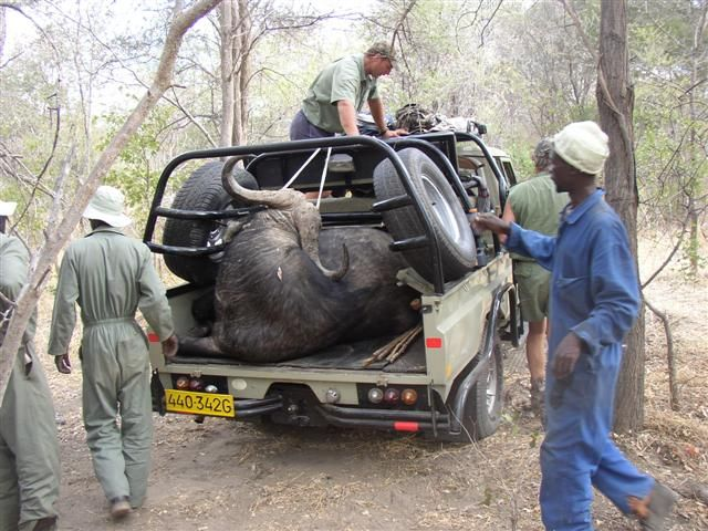 My Cape Buffalo in the truck