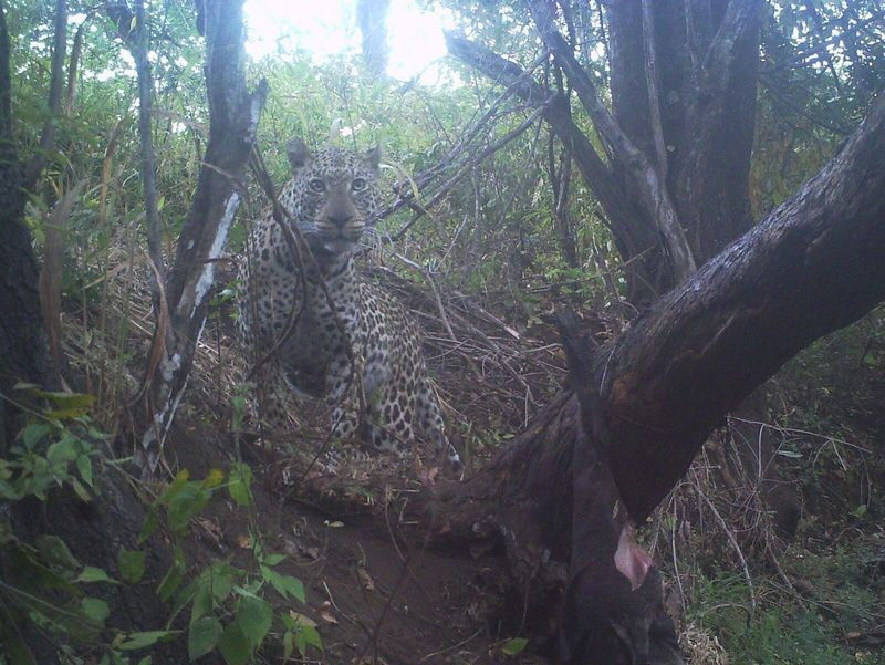 Leopard Trail Cam Pic Hunting with TMS Safaris