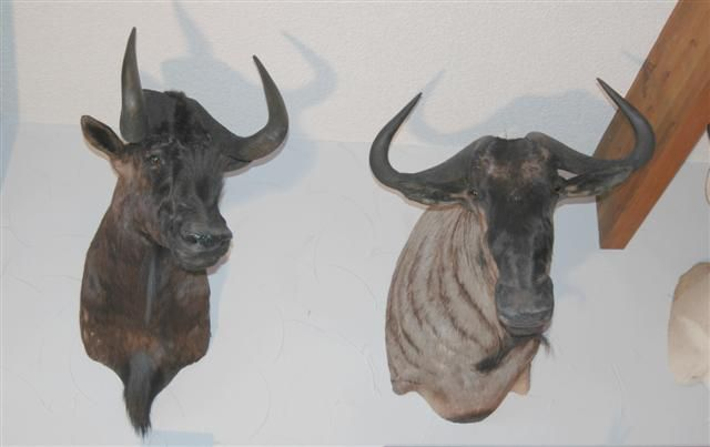 Black & Blue Wildebeest