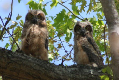 Fledgling Great Horned Owls - about 10 weeks old Keywords: owl
