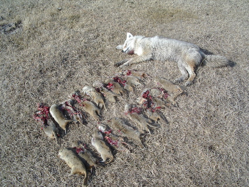 Click to view full size image  ==============  April 10, 2008 One coyote came into my call and a few gophers were around as well.