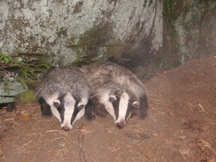 Click to view full size image  ==============  Two European badger Two European badger hunted whit my working jack russel terrier under large rock.