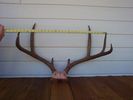 27in_antler_measurement.jpg