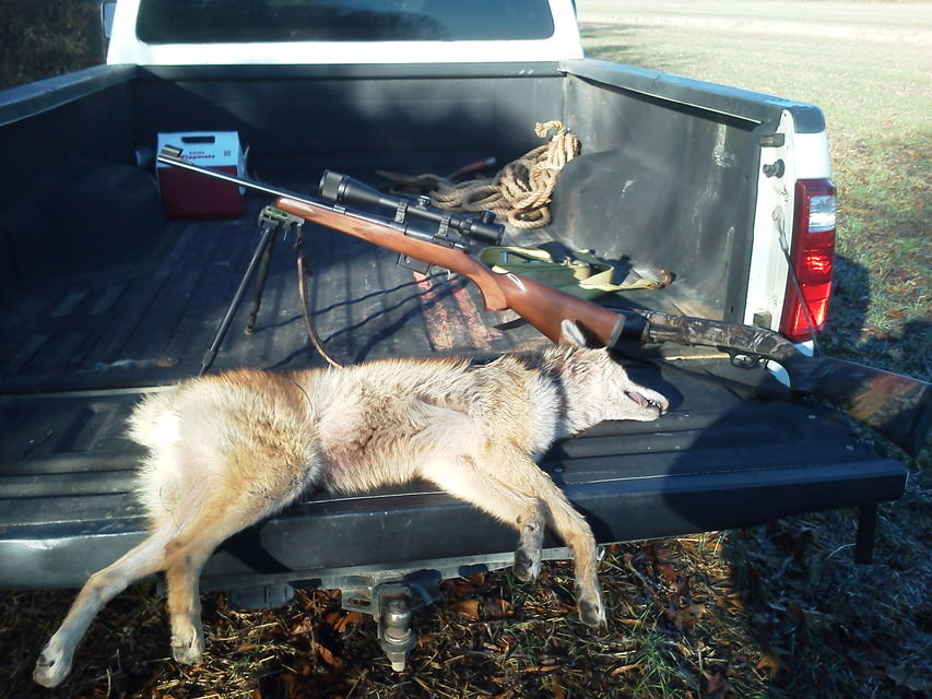 Click to view full size image  ==============  1 min and 15 sec hunt Keywords: coyote hunt