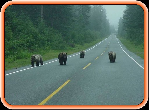 bears on patrol.jpg